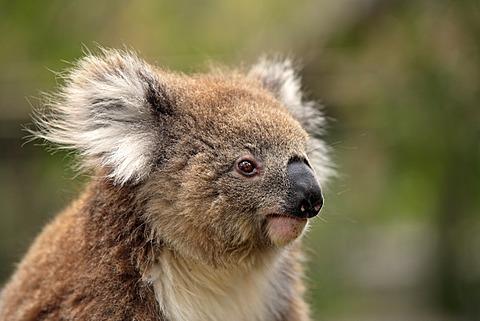 Koala (Phascolarctos cinereus), adult, portrait, Australia