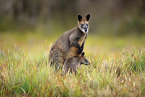 Swamp Wallabies (Wallabia bicolor), female and juvenile, Wilson Promontory National Park, Australia