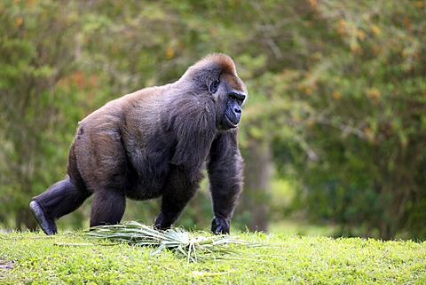 Western Gorilla (Gorilla gorilla), adult, female, Africa