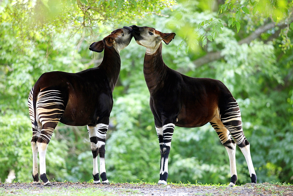 Okapi (Okapia johnstoni), adult pair, Africa