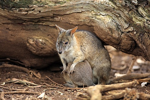 Parma Wallaby (Macropus parma), adult and joey, Australia
