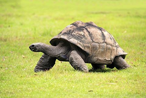 Galápagos tortoise or Galápagos giant tortoise (Geochelone nigra), Galapagos Islands, Pacific Ocean