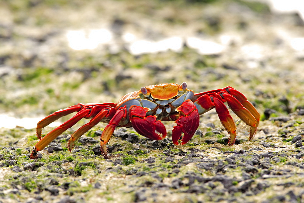 Sally Lightfoot Crab (Grapsus grapsus), adult foraging, Galapagos Islands, Pacific Ocean