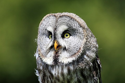 Great Gray Owl (Strix nebulosa), adult, portrait, calling, Germany, Europe