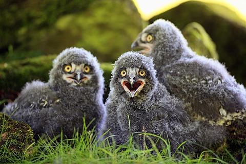 Snowy Owls (Nyctea scandiaca), three fledglings calling