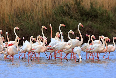 Greater Flamingo (Phoenicopterus ruber roseus), group in water, Saintes-Maries-de-la-Mer, Camargue, France, Europe