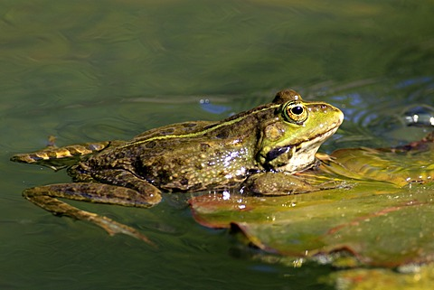Edible frog (Rana esculenta), between water lilies in water, Luisenpark, Mannheim, Baden-Wuerttemberg, Germany, Europe