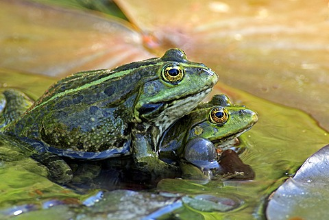 Edible frog (Rana esculenta), pair in water, Luisenpark, Mannheim, Baden-Wuerttemberg, Germany, Europe