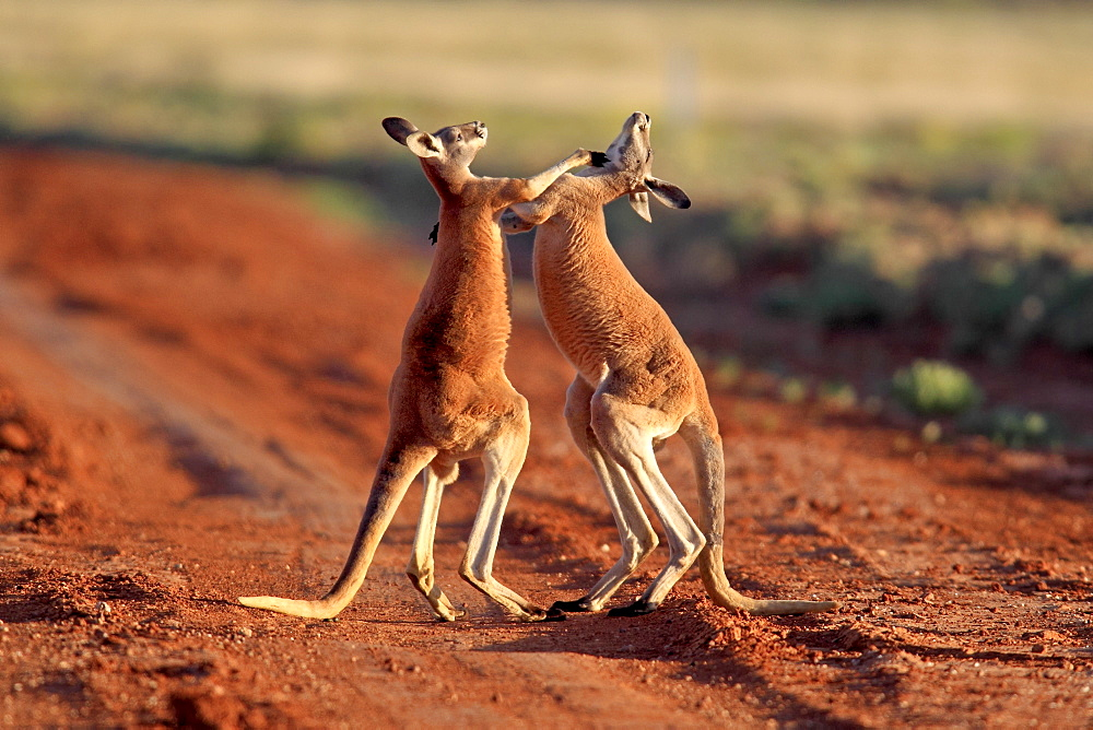 Red Kangaroo (Macropus rufus), male adults fighting, Tibooburra, Sturt National Park, New South Wales, Australia - 832-373748
