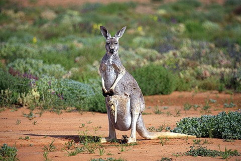 Red Kangaroo (Macropus rufus) female adult and young, Tibooburra, Sturt National Park, New South Wales, Australia