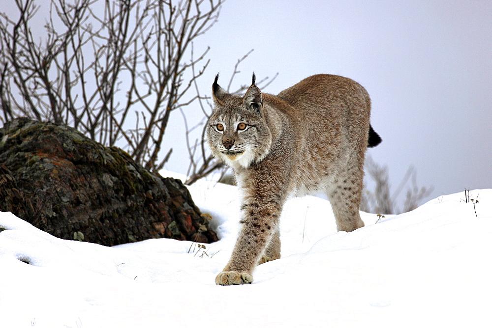 Eurasian lynx (Lynx lynx), adult, foraging, snow, winter, Montana, USA