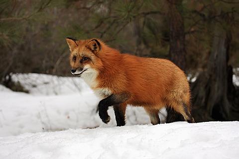 Red fox (Vulpes vulpes), adult, foraging, snow, winter, Montana, USA