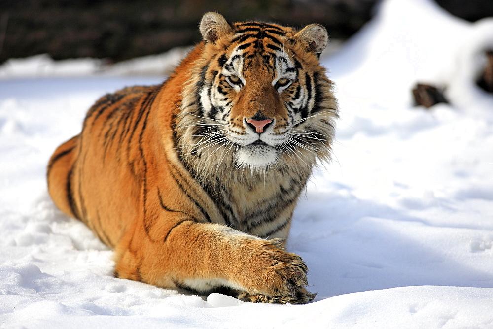 Siberian Tiger (Panthera tigris altaica), lying in snow, winter, Asia