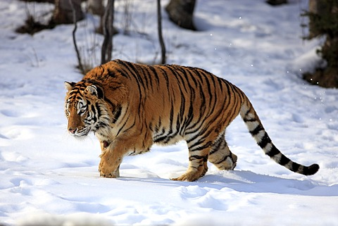 Siberian Tiger (Panthera tigris altaica), running, snow, winter, Asia