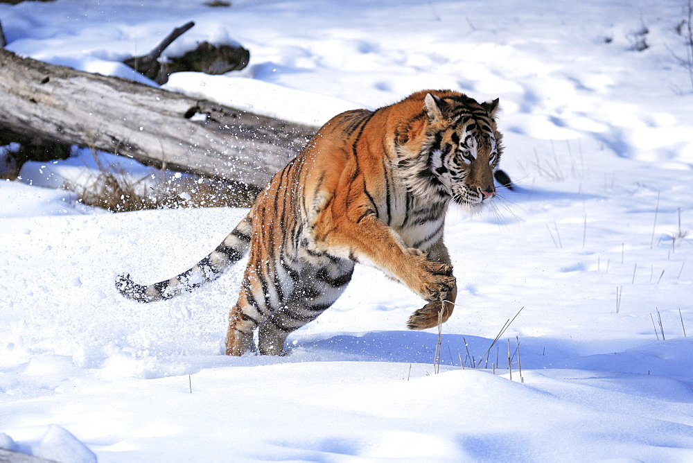 Siberian Tiger (Panthera tigris altaica), jumping, snow, winter, Asia