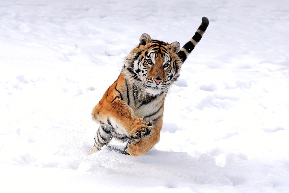 Siberian Tiger (Panthera tigris altaica), jumping, snow, winter, Asia - 832-373779