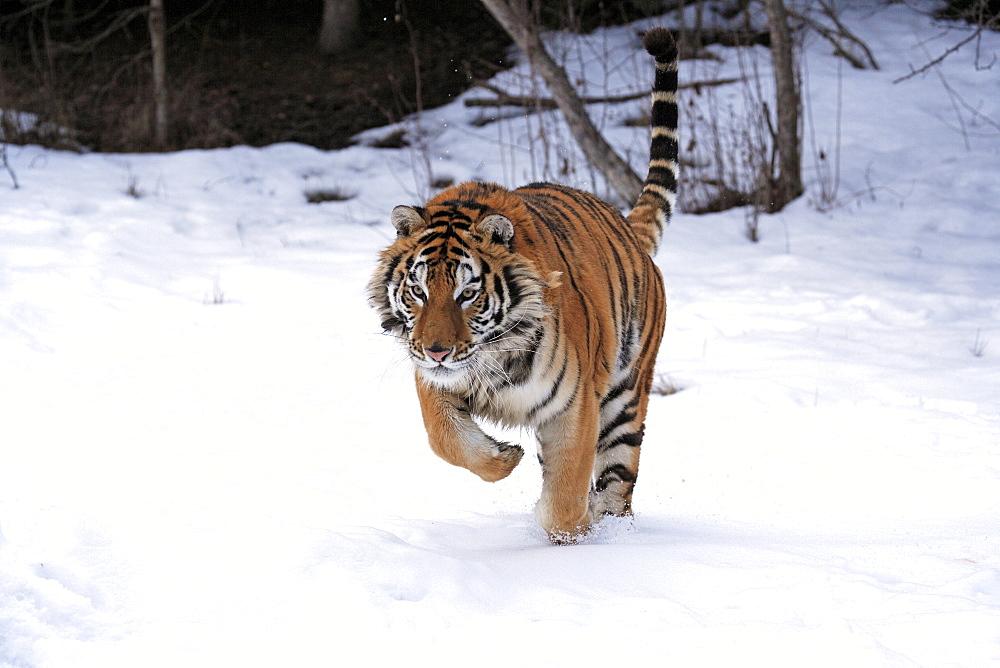 Siberian Tiger (Panthera tigris altaica), jumping, snow, winter, Asia