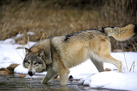 Wolf (Canis lupus), water, snow, winter, Montana, USA