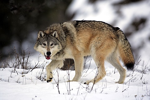 Wolf (Canis lupus), foraging, snow, winter, Montana, USA