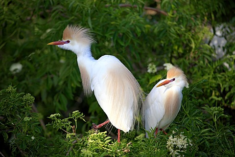 Cattle egret (Bubulcus ibis), adult, couple, on tree, Florida, USA