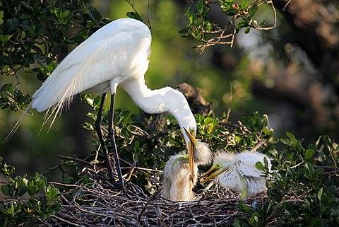 Great Egret (Egretta alba), adult bird feeding young in the nest, Florida, USA, America