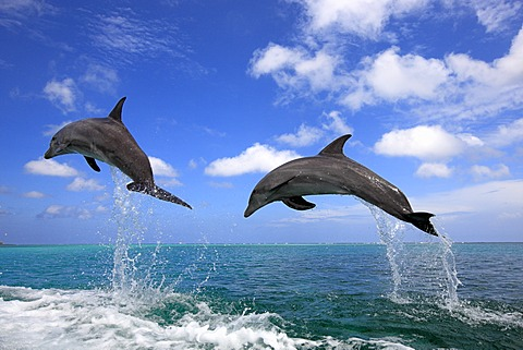 Two Bottlenose Dolphins (Tursiops truncatus), adult, jumping out of the sea, Roatan, Honduras, Caribbean, Central America, Latin America