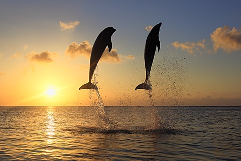 Two Common Bottlenose Dolphins (Tursiops truncatus), adult, leaping at sunset, Roatan, Honduras, Caribbean, Central America, Latin America
