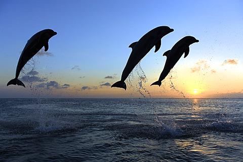 Three Common Bottlenose Dolphins (Tursiops truncatus), adult, leaping at sunset, Roatan, Honduras, Caribbean, Central America, Latin America