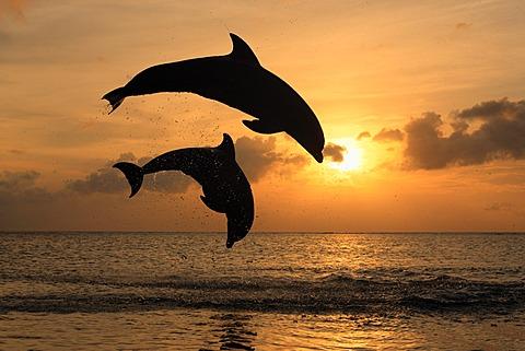 Two Common Bottlenose Dolphins (Tursiops truncatus), adult, leaping at sunset, Roatan, Honduras, Caribbean, Central America, Latin America - 832-373805