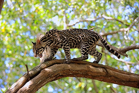 Ocelot (Leopardus pardalis), adult, male, tree, Honduras, South America