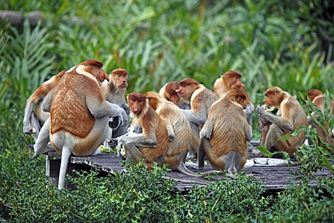 Proboscis Monkeys or Long-nosed monkeys (Nasalis larvatus), group, Labuk Bay, Sabah, Borneo, Malaysia, Asia