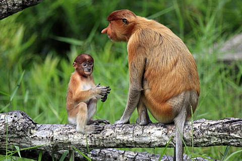 Proboscis Monkey or Long-nosed monkey (Nasalis larvatus), mother with young, Labuk Bay, Sabah, Borneo, Malaysia, Asia