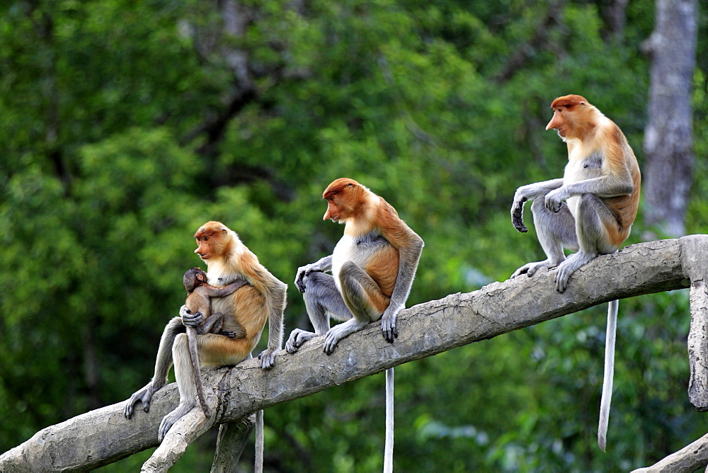 Proboscis Monkeys or Long-nosed monkeys (Nasalis larvatus), group on tree, mother with young, Labuk Bay, Sabah, Borneo, Malaysia, Asia