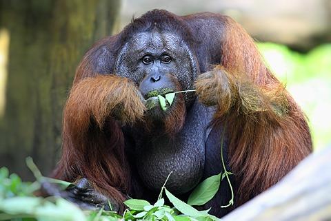Bornean orangutan (Pongo pygmaeus), male, feeding, Singapore, Asia