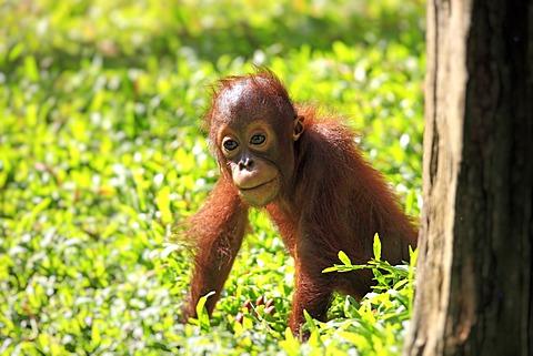 Orangutan (Pongo pygmaeus), young, Singapore, Asia