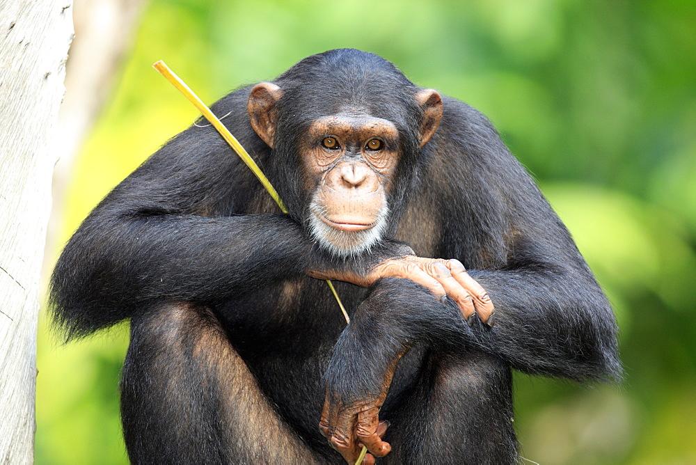 Chimpanzee (Pan troglodytes troglodytes), adult, Singapore, Asia