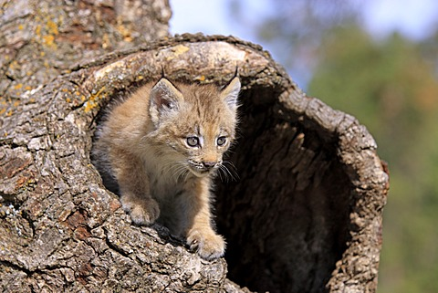 Canada Lynx (Lynx canadensis), young, eight weeks, den, tree trunk, Montana, USA, North America