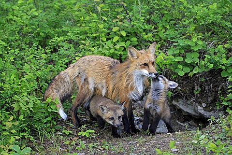Red Foxes (Vulpes vulpes), mother and pups, ten weeks, at the den, Montana, USA, North America