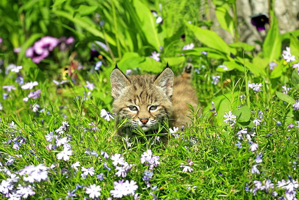 Bobcat (Lynx rufus), kitten, eight weeks, flowery meadow, Montana, USA, North America
