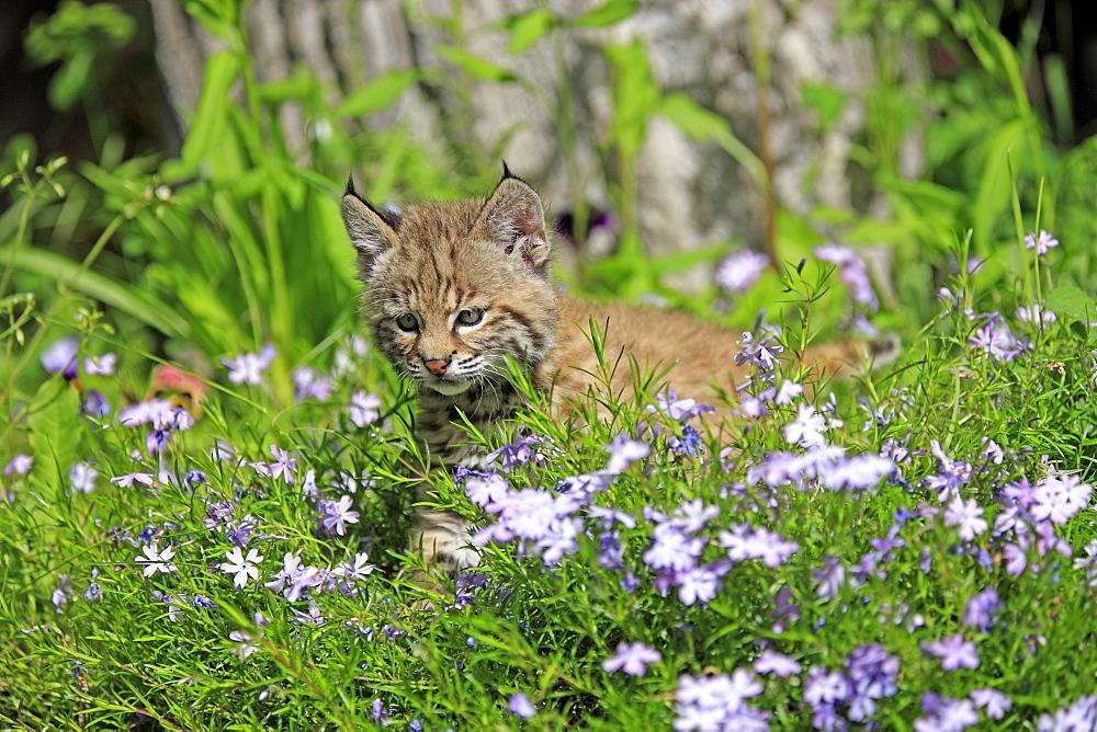 Bobcat (Lynx rufus), kitten, eight weeks, flower meadow, Montana, USA, North America