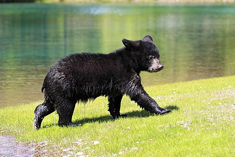 American Black Bear (Ursus americanus), cub, six months, by the water, Montana, USA, North America