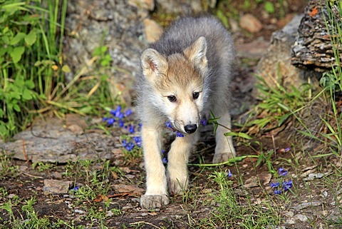 Gray Wolf (Canis lupus), pup, eight weeks, Montana, USA, North America