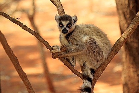 Ring-tailed Lemur (Lemur catta), Berenty Reserve, Madagascar, Africa