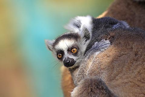 Ring-tailed Lemur (Lemur catta), juvenile, Berenty Reserve, Madagascar, Africa