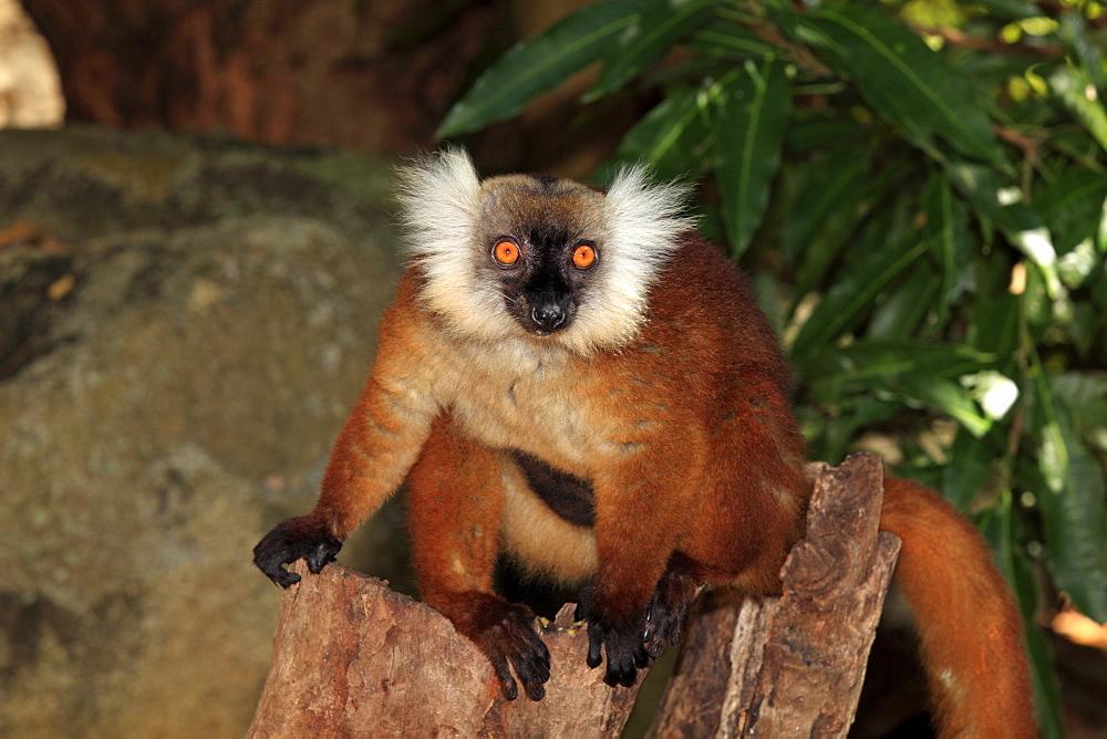 Black Lemur (Eulemur macaco), female with young, Nosy Komba, Madagascar, Africa