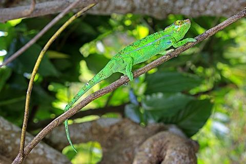 Panther Chameleon (Furcifer pardalis), male, foraging, Madagascar, Africa
