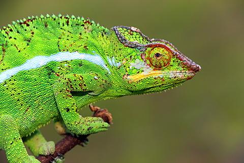 Panther Chameleon (Furcifer pardalis), male, Madagascar, Africa