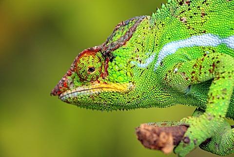 Panther Chameleon (Furcifer pardalis), male, portrait, Madagascar, Africa