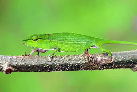 Short-nosed Chameleon (Calumma gastrotaenia), female, foraging, Perinet Reserve, Madagascar, Africa