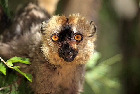 Red-fronted Lemur (Lemur fulvus rufus), adult, portrait, Berenty Reserve, Madagascar, Africa